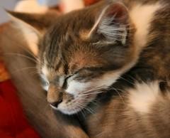 Darcy Portrait (Scott MacLeod Liddle) Tags: cats cat kitten tabby kittens furryfriday catportrait animalportrait