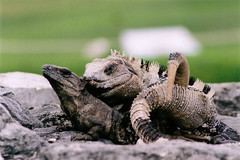 HotRockLove (rondaloo) Tags: animals mexico tulum iguanas reptiles yuccatan