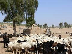 Cattle flock at the well (indiawaterportal.org) Tags: cattle general wells jaisalmer rajasthan farhadcontractor watersheddevelopment sambhaavtrust