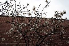 magnolia, I think?