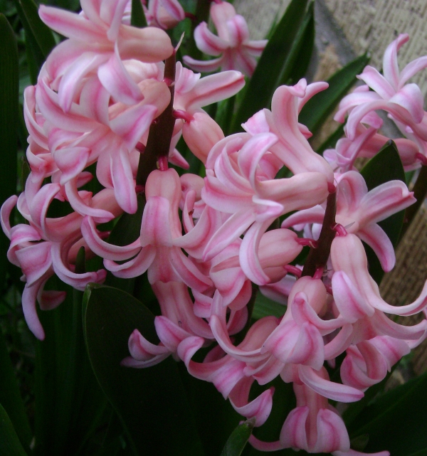 Pink hyacinths in bloom