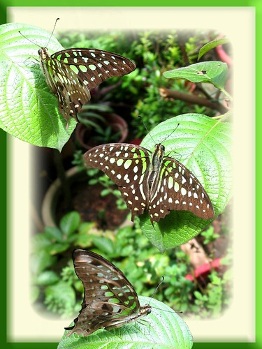 A fun and arty photo collage of Tailed Jay butterflies