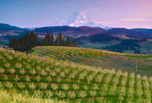 Pastel Orchards Over Mount Hood