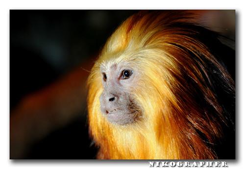Golden Headed Lion Tamarin - Nikon Flash Guide