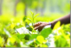James Finlays Tea Bangladesh (Shabbir Ferdous) Tags: photographer tea greentea sylhet bangladesh teaplantation bangladeshi tealeaf srimongal srimangal teapicking canoneosrebelxti shabbirferdous womanpickingtea jamesfinlays sigmazoomtelephoto70300mmf456apodgmacro wwwshabbirferdouscom shabbirferdouscom