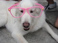 DSC04414 (Boo&MJ) Tags: dog cute loving fun happy glasses taiwan boo taipei joyful
