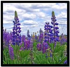 lupines (Carplips) Tags: flowers tower purple wildflowers lupines aplusphoto channelledscablands