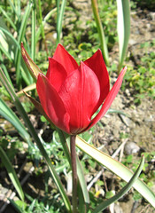 Wild Tulip, near Spili, Crete, Greece (east med wanderer) Tags: mountains greece crete tulip wildflower wildtulip spili tulipadoerfleri  giouskambos giouskampos