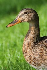 Blije eend (Happy duck) (Mirjam75) Tags: green bird nature birds duck mallard eend