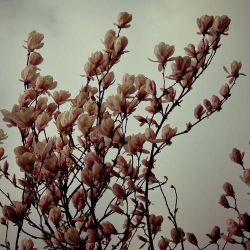Dance of the magnolia