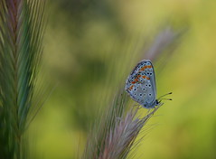 butterfly.. (aycasan) Tags: macro butterfly buday