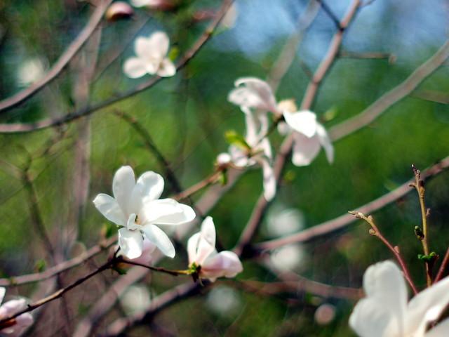 aquarel magnolia