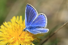 The First Picture Of Blue, The First Picture Of Summer (Chris*Bolton) Tags: blue summer flower nature butterfly wicklow soe commonblue supershot rathdrum golddragon mywinners abigfave anawesomeshot citrit goldstaraward natureselegantshots artofimages
