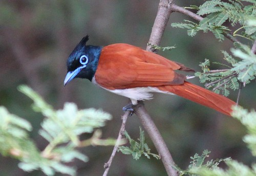 Paradise Flycatcher...surprisingly still