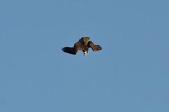 Osprey Attack DSC_7160