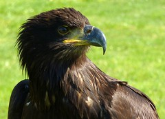 Juvenile American bald eagle (Frans.Sellies (off for a while)) Tags: eagle adler baldeagle juvenile haliaeetusleucocephalus zeearend americanbaldeagle aguila aquila seaeagle guia aigle haliaeetus amerikaansezeearend supershot kartal seeadler pygargue specanimal guilacalva pigargodecabezablanca weiskopfseeadler avianexcellence  pygarguetteblanche witkopzeearend pigargoamericano guilaamericana aquiladimare  guiadecabeabranca guiladecabezablanca   kelkartal    p1290888 aquiladimaredallatestabianca