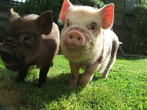 Benstickley님이 촬영한 vanessa and wilbur - pigs.