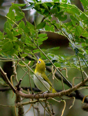 Lowland White-Eye (Rey Sta. Ana) Tags: wild bird birds wildlife philippines manila rey avian palawan wildbirds mantarey candaba staana