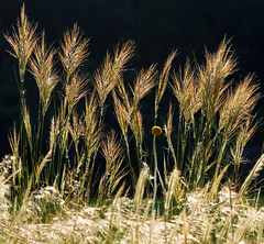 a5443 Grass Minus 1 (tengtan (away awhile)) Tags: flowers sunlight grass pov melbourne botany botanicgardens lateafternoon againstthelight supershot 10faves lowviewpoint platinumphoto aplusphoto goldenphotographer excellentphotographerawards auselite theunforgettablepicture theperfectphotographer