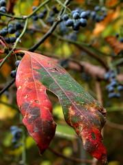 Sassafras leaf and Greebriar berries