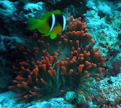 Red anemone and Nemo (sciack) Tags: underwater redsea sharmelsheikh