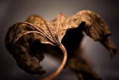 A little detail (T. Scott Carlisle) Tags: macro leaf micro figtree tsc d80 105mmf28gvrmicro tphotographic tphotographiccom tscarlisle tscottcarlisle