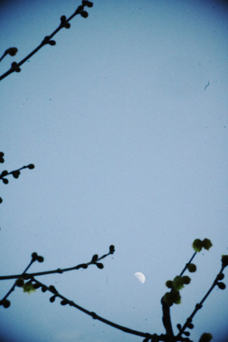 素芯蠟梅 と 白昼月