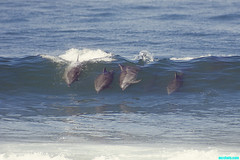 SurfingDolphins1 (mcshots) Tags: ocean california winter usa nature water losangeles waves sealife images surfing socal dolphins surfers mcshots swells smrgsbord marinemammals wowiekazowie natureselegantshot