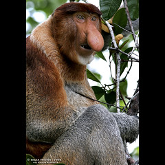 ORANG BELANDA aka Dutchmen Monkey ;-) (Edgar Thissen) Tags: nature nose monkey nationalpark rainforest bravo asia wildlife jungle sarawak malaysia borneo waterdrops primate langur bako naturesfinest proboscismonkey leafmonkey edgarthissen 30215 nasalislarvatus specanimal animalkingdomelite orangbelanda dutchmenmonkey