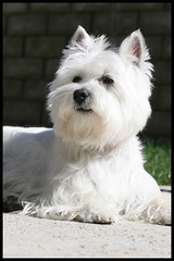 Wee Westie - Soaking up the Sun (Randy Son Of Robert) Tags: california dog pet sun white westie canine terrier yoshi soaking basking weewestie westhighlandwhiteterrrier