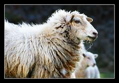 Oveyes (fertraban) Tags: asturias villaviciosa oveja asturies ovejas cordero tazones mywinners ltytr1 diamondclassphotographer