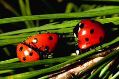 Loving in group :-) (raffaphoto©) Tags: macro nature insect spring ladybird ladybug soe coccinelle raffaella platinumphoto anawesomeshot impressedbeauty diamondclassphotographer ysplix theunforgettablepictures ahqmacro
