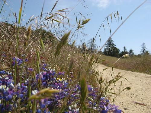 Miniature lupines, grass