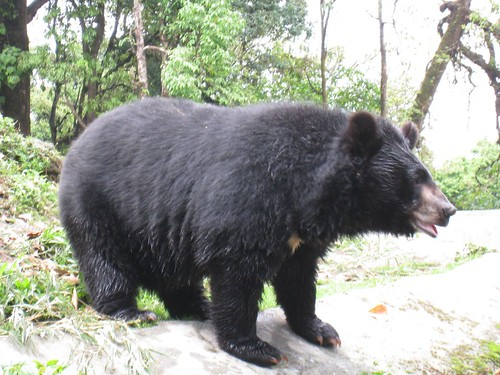 Himalayan black bear - up close and personal