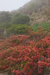 山肌を登るツツジの開花前線