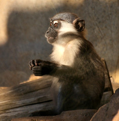The Count.... (law_keven) Tags: england animals zoo monkey essex colchester monkies colchesterzoo primates mangabey photoexel babycherrycrownedmangabey zoologly