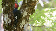 Carpintero negro, con gusano (macho) (Cristian Becker) Tags: d810 nikkor campephilusmagellanicus conguillío carpintero woodpecker magellanicwoodpecker