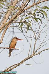 Stork-billed kingfisher (Nanimuroor) Tags: canon 80d muroor nature karnataka birds birdsofmuroor storkbilledkingfisher pelargopsiscapensis