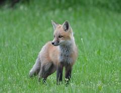 fox(kit (BurtonD0729) Tags: fox kits