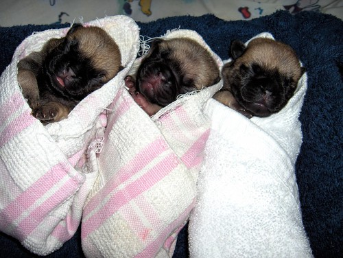 Picture of Pug Puppy Videos