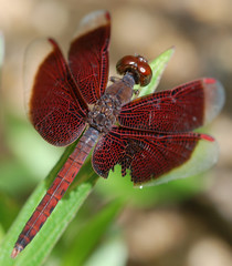 Burgundy Dragonfly (williamcho) Tags: wild nature beautiful insect flying wings singapore colorful naturereserve botanicgarden graceful burgundydragonfly