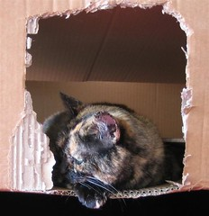 Missy in a box (Zandgaby) Tags: playing closeup cat box carton karton