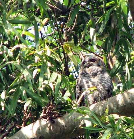 mottled wood owl lalbagh 011207