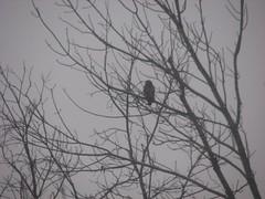 Morning red-shouldered hawk