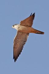 032054-IMG_4812 Grey Falcon (Falco hypoleucos) (ajmatthehiddenhouse) Tags: greyfalcon grayfalcon falcohypoleucos falco hypoleucos sa southaustralia bird 2007 australia