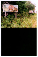 tiger_sign (b. kaspr) Tags: road trip trees summer signs fuji cross superia tiger country super safari frame half samurai yashica attractions 2007 raodside