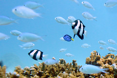 Underwater at Okinawa, Japan (_takau99) Tags: ocean trip travel blue school sea vacation holiday fish uw nature topf25 water topv111 coral japan topv2222 lumix japanese topf50 topv555 topv333 october marine asia underwater topv1111 topv999 topv444 dive scuba diving topv222 east panasonic explore topv5555 pacificocean tropical  scubadiving nippon okinawa topv777  topv3333 topv4444 topv666 topf10 topf15 topf35 jpn 2007 topv888 damsel kerama topv6666 topv7777 damselfish surgeonfish topf5 topf20  topf30 topf40 philippinesea fx30 eastchinasea takau99 dmcfx30 dmcfx sawasdeedive bluegreendamselfish surgionfish