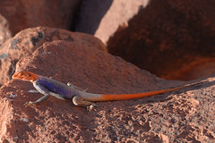 Lzard du dsert (red head) (teocaramel) Tags: orange animal rouge desert reptile sable animaux namibia rocher dsert lzard sauvage namibie naturesfinest damaraland aride 10faves abigfave anawesomeshot superbmasterpiece diamondclassphotographer naturewatcher theperfectphotographer goldstaraward