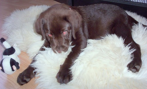 Chocolate labrador puppy resting