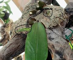 Bulbophyllum macrobulbum 'Magnifico'CHM/AOS